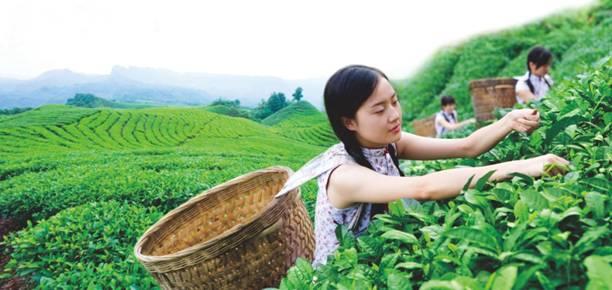 全球茶行业领导、专家支招宜宾茶:严把质量安全,加强海外推广