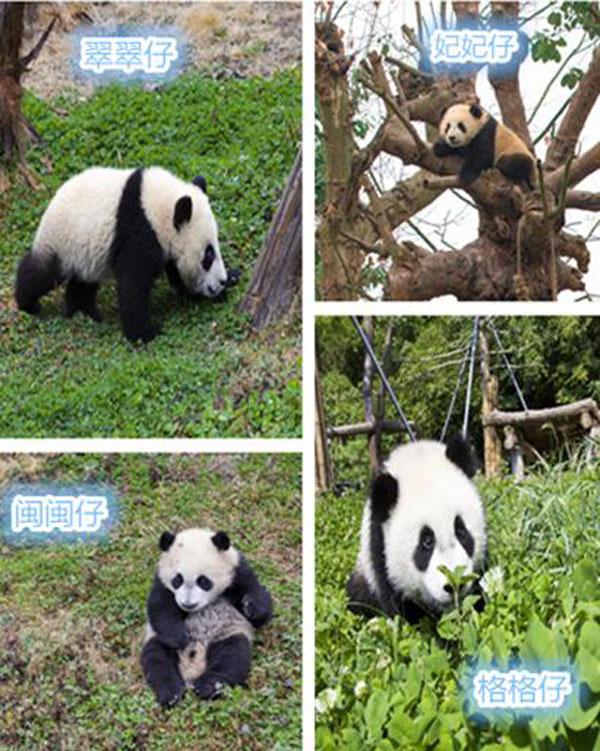 四只大熊猫宝宝分别是性格活泼可爱,喜欢在泥地里打滚玩耍的妃妃仔;生