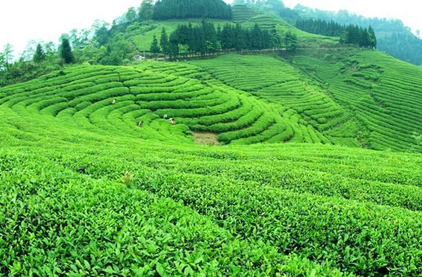 讲好宜宾茶背后的故事 提升宜宾茶的质...